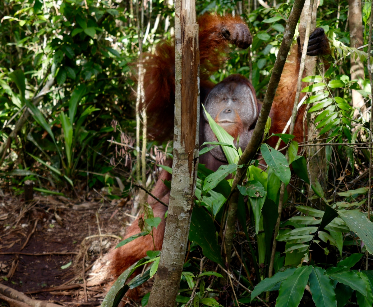 """Big Tom, "" a male orangutan in Camp Leakey. (Photo: Alessandra Renzi)"